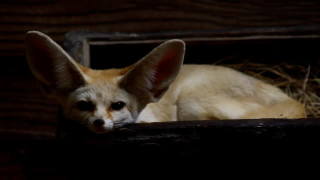 fennec fox - human ear stock videos and b-roll footage