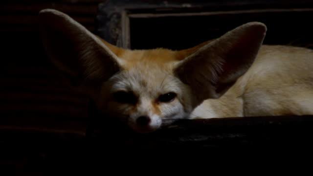 fennec fox - fox stock videos and b-roll footage