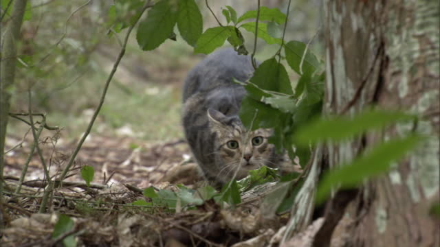 vidéos et rushes de feral cat (felis catus) pounces in forest, new zealand - chasser