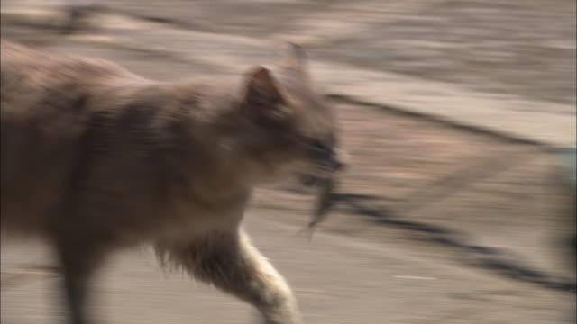 A feral cat trotting across a walkway.