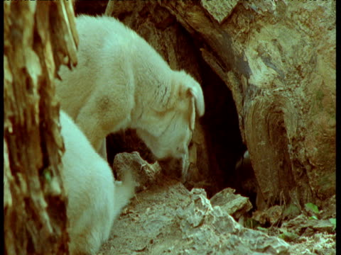 feral dog puppies sniff ground outside den, usa - babyhood stock videos & royalty-free footage
