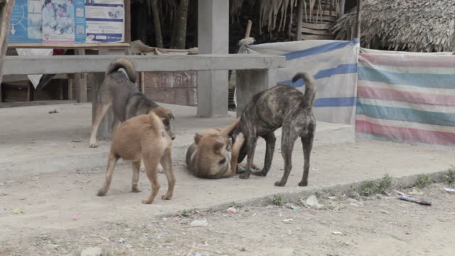ms feral dogs / xam neua, laos - gruppo medio di animali video stock e b–roll