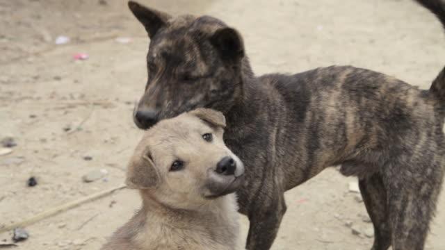 MS feral dogs / Xam Neua, Laos