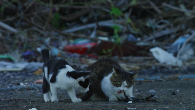 feral domestic cat eating fish on dockside with 2 others squabbling for it - 迷子の動物点の映像素材/bロール