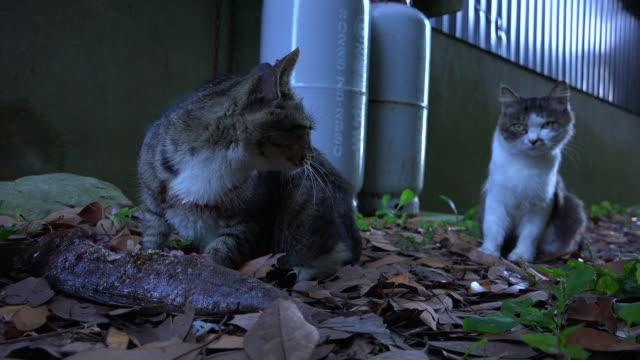 vídeos de stock, filmes e b-roll de feral domestic cat eats fish very close to camera and scares off second cat - domestic animals