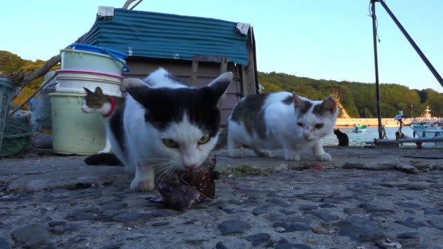 stockvideo's en b-roll-footage met feral domestic cat eats fish very close to camera then moves as second cat approaches - kleine groep dieren