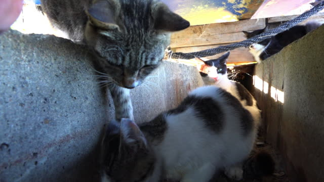 ms feral domestic cat eats large fish in gutter and is poked by second cat - stray animal stock videos & royalty-free footage