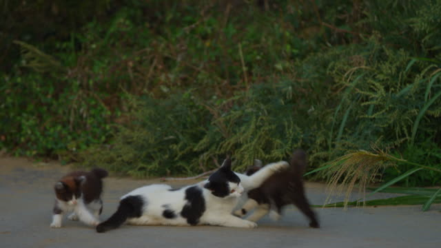 Feral domestic cat grooming then play fighting with kittens on roadside