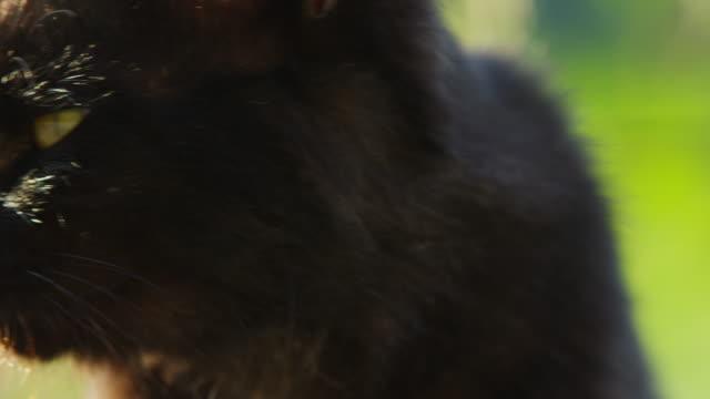 vídeos de stock, filmes e b-roll de ecu feral domestic cat looks around then walks off - bigode de animal