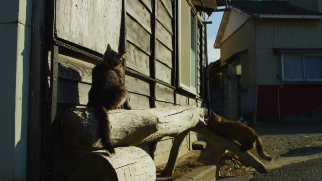 vídeos de stock, filmes e b-roll de feral domestic cat scrapes claws on tree trunk then greets second cat - dois animais