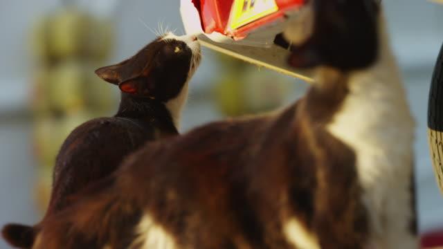 vídeos y material grabado en eventos de stock de ms feral domestic cat sniffs at scents on bottom of car bumper - animales salvajes