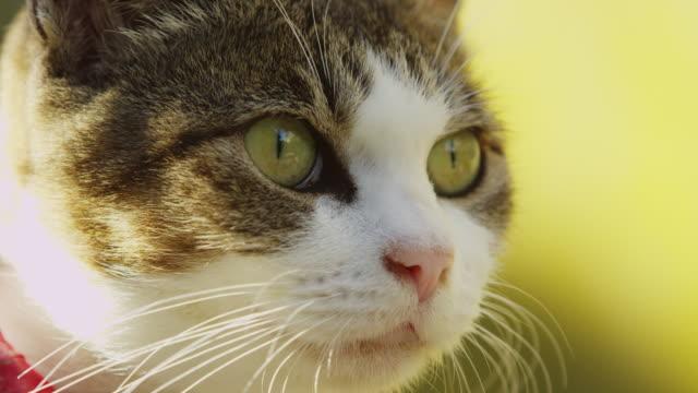 ecu feral domestic cat with bright red collar looks around - schnurrhaar stock-videos und b-roll-filmmaterial
