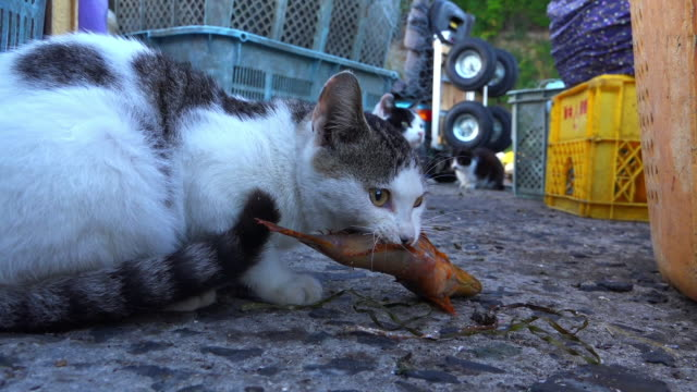 stockvideo's en b-roll-footage met cu feral domestic cat with fish in its mouth runs away from camera - kleine groep dieren