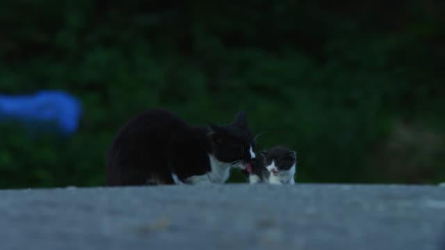 stockvideo's en b-roll-footage met feral domestic cats groom kitten and each other - kleine groep dieren