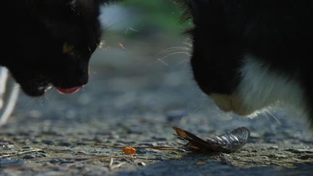 stockvideo's en b-roll-footage met cu 2 feral domestic cats sniff at with butterfly on road - kleine groep dieren