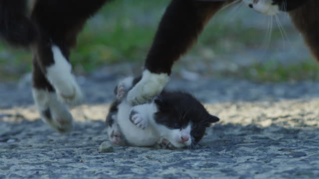 slomo feral domestic kitten looks around nervously as cat jumps around and play fights with it - 絆点の映像素材/bロール