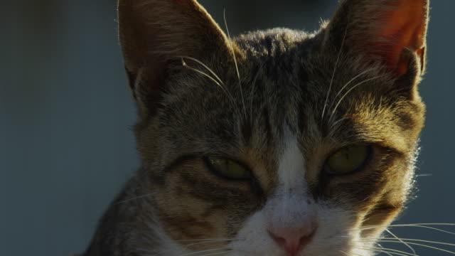 vídeos de stock, filmes e b-roll de ecu feral domestic kitten looks around then walks off - bigode de animal