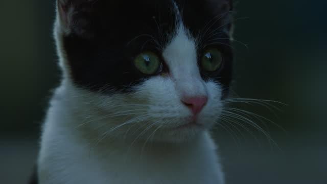 vídeos de stock, filmes e b-roll de cu feral domestic kitten looks around then walks off - bigode de animal