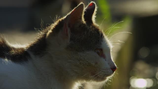 vídeos de stock, filmes e b-roll de cu feral domestic kitten looks around - bigode de animal