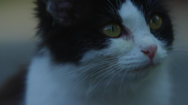 vídeos de stock, filmes e b-roll de ecu feral domestic kitten looks around - bigode de animal