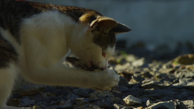 ms feral domestic kitten picks up and plays with butterfly on road - 迷子の動物点の映像素材/bロール