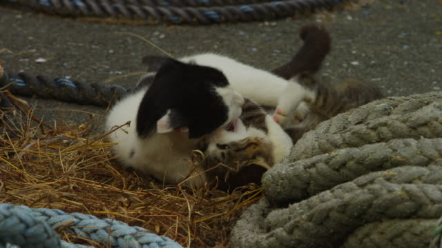 ms feral domestic kitten play fighting with adult cat amongst rope on concrete dockside - schnurrhaar stock-videos und b-roll-filmmaterial