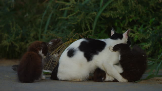 stockvideo's en b-roll-footage met feral domestic kitten play fights with adult on roadside - kleine groep dieren