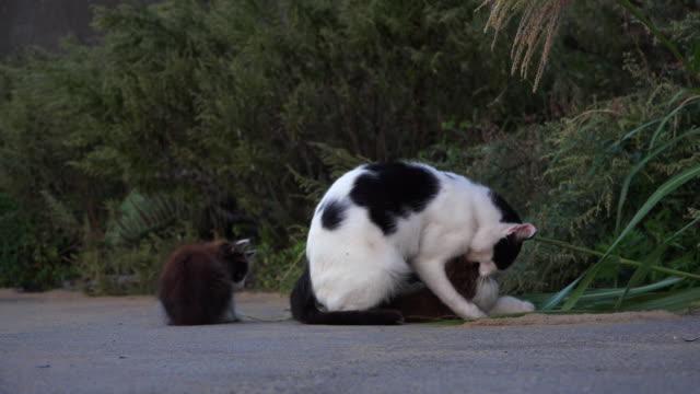 stockvideo's en b-roll-footage met feral domestic kittens play fight and one falls on adult on roadside - kleine groep dieren