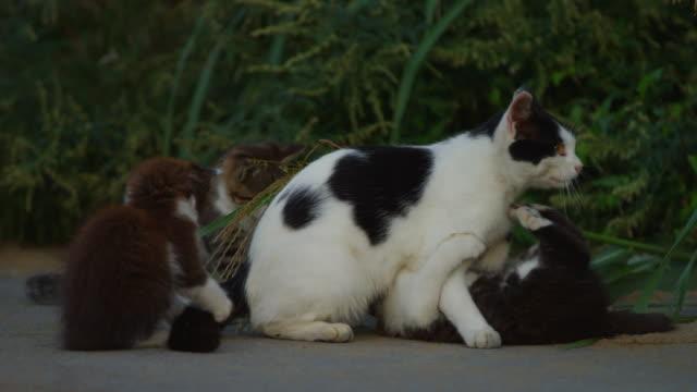 stockvideo's en b-roll-footage met feral domestic kittens play fight with adult on roadside - kleine groep dieren