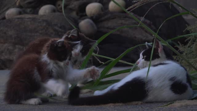 stockvideo's en b-roll-footage met feral domestic kittens play with tail of adult on roadside - kleine groep dieren