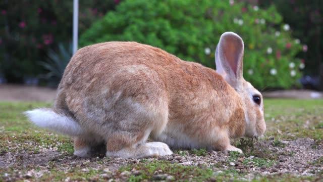 MS feral domestic rabbit eats plant then runs off