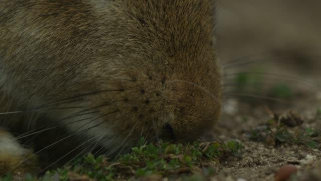 ECU feral domestic rabbit eats plants very close to camera