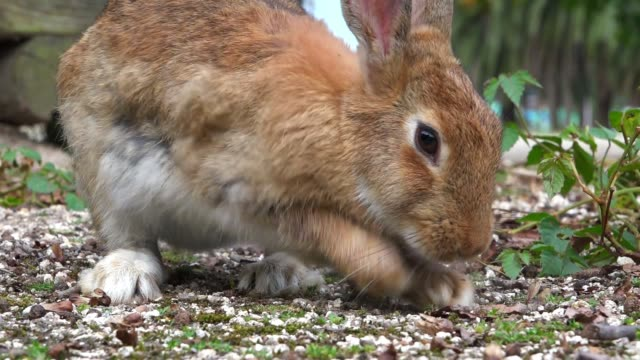 SLOMO MS feral domestic rabbit forages and digs up rough grass very close to camera