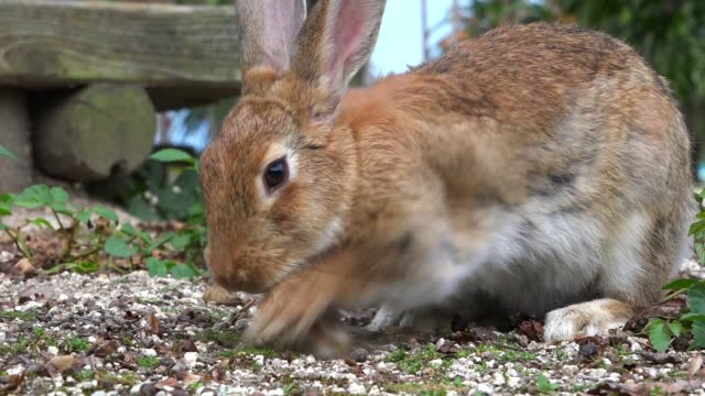 SLOMO MS feral domestic rabbit forages on rough grass very close to camera