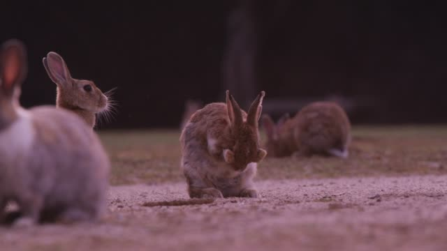 la feral domestic rabbit grooms and sneezes on golf course - rabbit animal stock videos & royalty-free footage