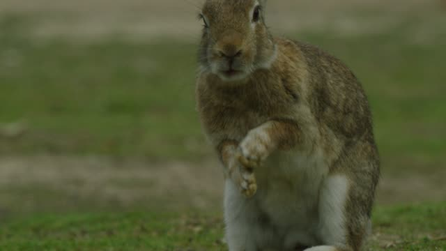 vidéos et rushes de ms feral domestic rabbit hiccups - lapin