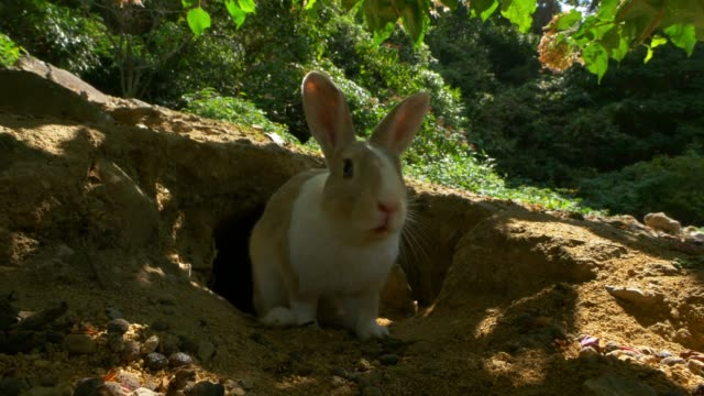 feral domestic rabbit runs out of burrow and sniffs at camera lens - rabbit animal stock videos & royalty-free footage