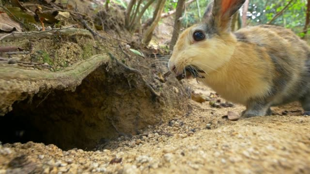 feral domestic rabbit runs up to hole with bedding material and enters burrow - höhle stock-videos und b-roll-filmmaterial