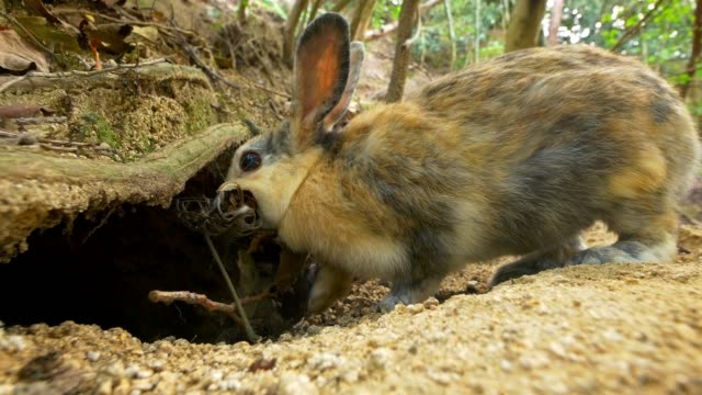 vídeos de stock, filmes e b-roll de feral domestic rabbit runs up to hole with bedding material and enters burrow - domestic animals