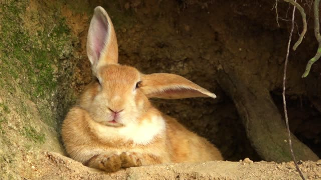 slomo ms feral domestic rabbit sitting relaxed at mouth of burrow - höhle stock-videos und b-roll-filmmaterial