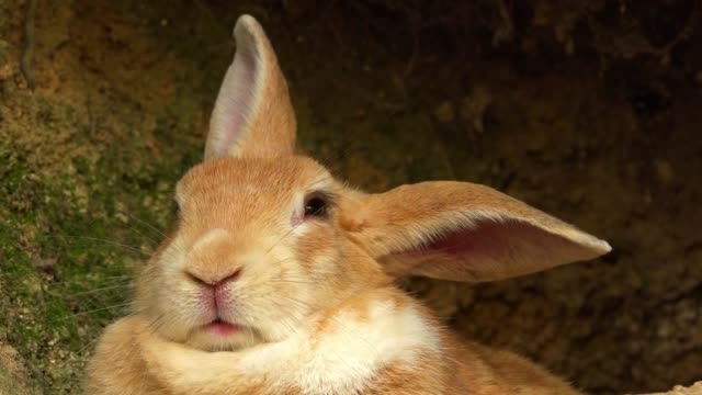 slomo cu feral domestic rabbit sitting relaxed at mouth of burrow - höhle stock-videos und b-roll-filmmaterial