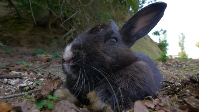 slomo ms feral domestic rabbit sitting relaxed very close to camera - rabbit animal stock videos & royalty-free footage