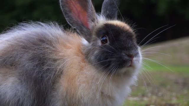 vidéos et rushes de slomo cu feral domestic rabbit sniffing air - 20 secondes et plus