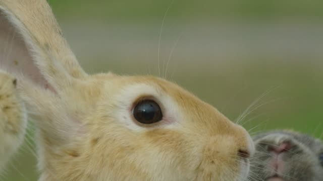 CU feral domestic rabbit standing and looking around