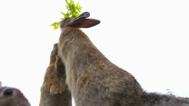 la feral domestic rabbits stand on hind legs to reach celery being fed to them - celery stock videos and b-roll footage