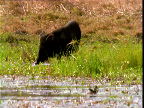 "vidéos et rushes de feral pig forages in marsh, lakefield national park, queensland - ""bbc natural history"""