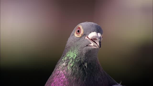 Feral pigeon (Columba livia domestica) looks around, UK