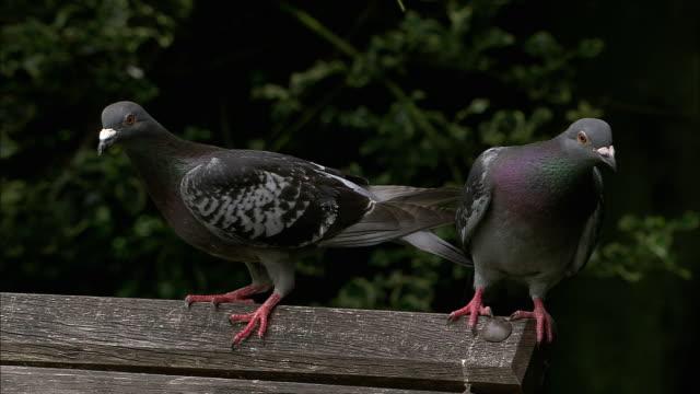 feral pigeons (columba livia) on park bench, bristol, uk - bench stock videos & royalty-free footage