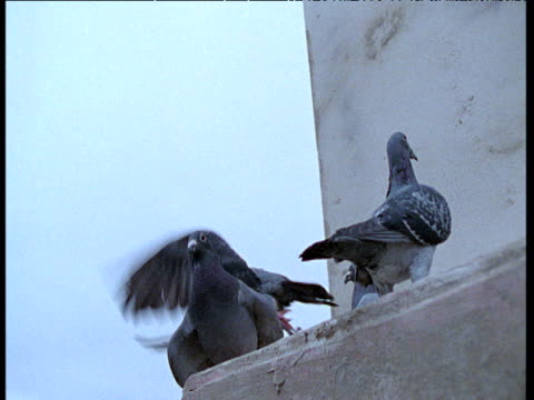 feral pigeons take off of building ledge - colomba video stock e b–roll