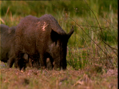 "vidéos et rushes de feral pigs wander through marsh, lakefield national park, queensland - ""bbc natural history"""